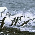 Adelie penguins, jumping into the ocean, by cascoly