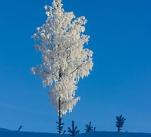 White birch by Forestpictures