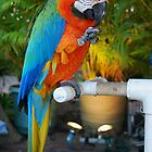 Macaw on Front Street., Lahaina by Marjorie Wallace