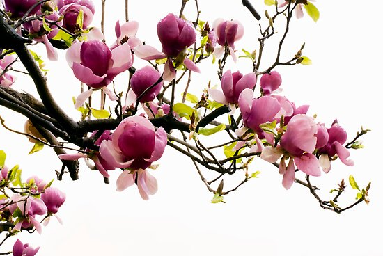 magnolia flower by fatalsweets