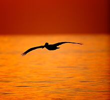 Pelican Silhouette #1 by David Orias