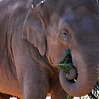Captive elephant feeding by Bek  Williams