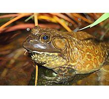 American Bullfrog Closeup and Personal Photographic Print