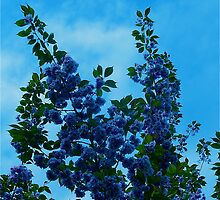 Flowering Cherry (Tinged Blue) by JessBartlet
