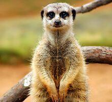 Meerkat by klphotographics