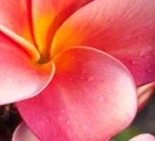 Portfolio: Pink plumeria #9, Big Island, Hawai'i Sticker