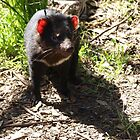 Tasmanian Devil on the Prowl by kalaryder