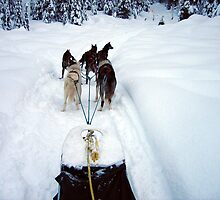 Dog Sledding by Cheryl Parkes