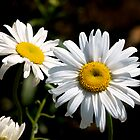 Daisy by dbschanck