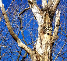 White Bark Tree by Gillwho
