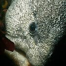 Wolf Eel by Greg Amptman