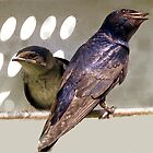 Purple Martin Family by sharont