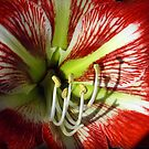 Red Hippeastrum by Bev Pascoe