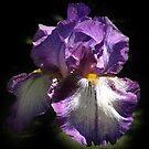 Purple Bearded Iris by Bev Pascoe