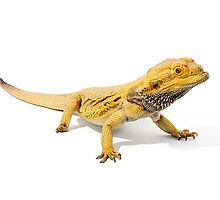 Central Bearded Dragon [Pogona vitticeps] by Shannon Benson