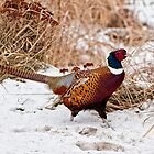 Ringed Neck Pheasant by Michael Cummings