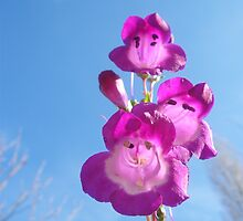 Penstemon of Winter by Pamela Jayne Smith