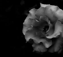 BW Rose by David Pierce