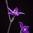 Waxlip Orchid,  Glossodia major  by David Lade
