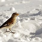 Snow Bunting - Plectrophenax nivalis by Chris Monks