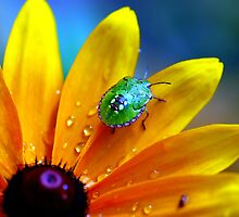 Shield bug on Rudbeckia by natureloving