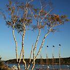 Birch tree on the Harbor by Linda Jackson