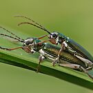 Longhorned Leaf Beetle by Robert Abraham