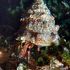Reef Hermit Crab by lilithlita
