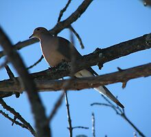 Morning Dove by Agood