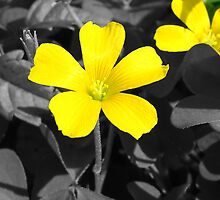 Yellow Wood Sorrel by ClintDMc
