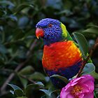 Rainbow Lorikeet by Kim Roper