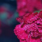 Carnations by Tracy Jones