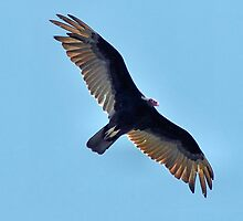 Soaring Turkey Vulture by Dennis Stewart