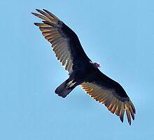 Soaring Turkey Vulture by Dennis Stewart