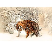 Tigers in snow  Photographic Print