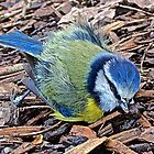 RIP little Blue Tit by John Thurgood