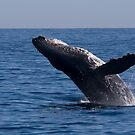 Breaching Humpback by Steve Bulford