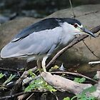 Black-crowned Night Heron by hummingbirds