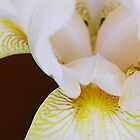 Single White Iris - Close Up by Melissa Holland