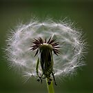 Dandelion by Carly Chapman
