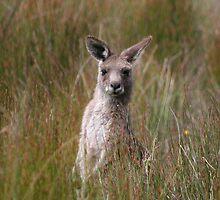 Eastern Grey Kangaroo by Peter South