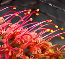 Red Grevillea by Colin Leal