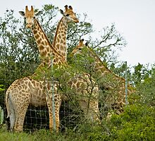 Long Necks by Warren. A. Williams
