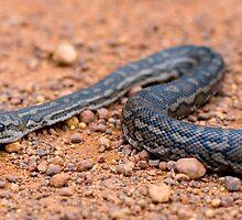 Carpet Python by Sekans