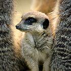 Meerkats by Krys Bailey