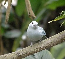 Blue Grey Tanager by Luann Gingras