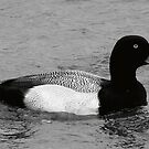 Greater Scaup by KSkinner