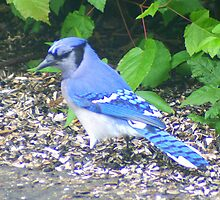 Blue Jay by Laurel Talabere
