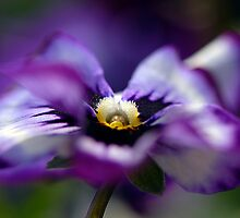 Purple Pansy by Jacky Parker