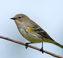 Yellow-Rumped Warbler  by Bonnie T.  Barry